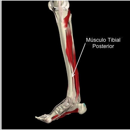 musculo tibial